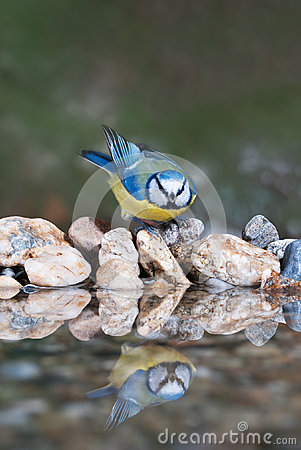 Free Blue Tit Coming To Drink Royalty Free Stock Images - 47618909