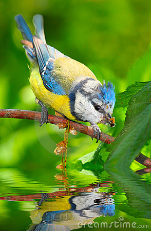 The Blue Tit (Cyanistes caeruleus).