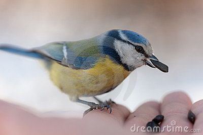 The blue tit eats sunflower seeds