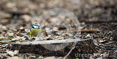 Blue Tit on ground