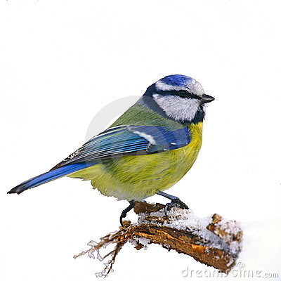 Free Blue Tit In Winter Royalty Free Stock Photos - 15033328
