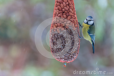 Blue tit looking for food during wintertime