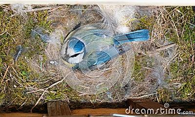 Blue Tit at nest box on eggs