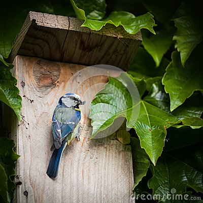 Blue tit  by a nesting box
