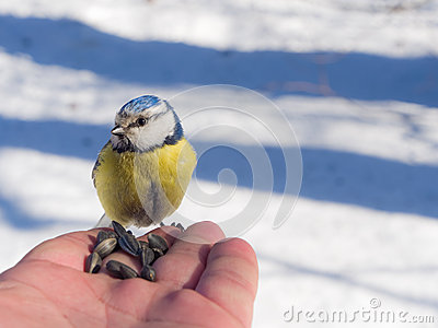 Blue tit on the palm