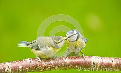 Blue tit parent feeding fledgling.