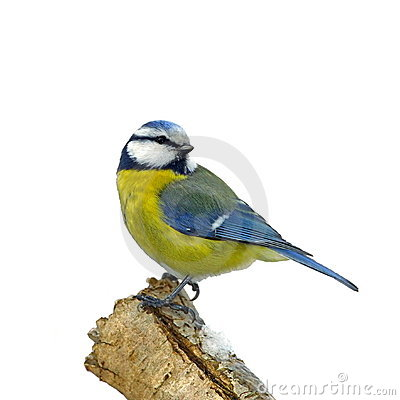 Blue tit on snowy branch