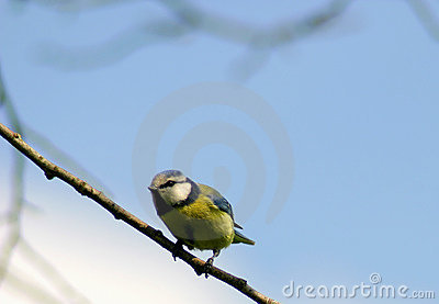 Blue Tit Sparrow Bird