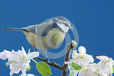 Blue tit in springtime