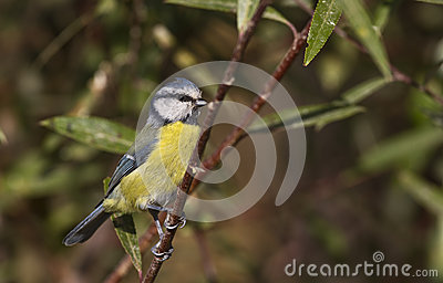 Blue tit on the Tree