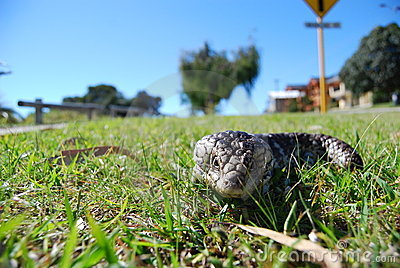 Blue tongue lizard 2