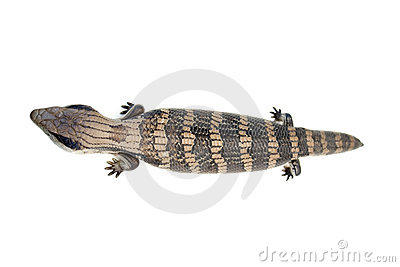 Blue Tongue Lizard #4