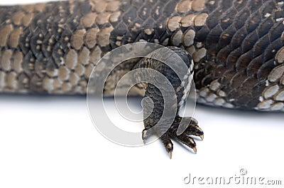 Blue Tongue Lizard foot detail