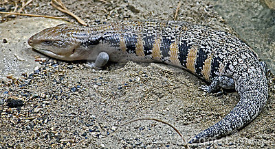 Blue tongue skink 2