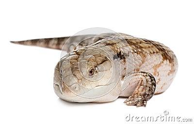 Blue-tongued skink - Tiliqua Scincoides (7 yeras o