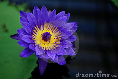 A Blue Tropical Water Lily
