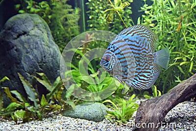 Blue Turquoise Discus Fish