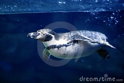 Blue underwater Penguin swimming under water surfa