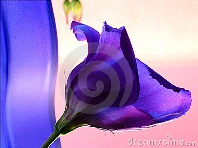 Blue vase and blue flower in pink background