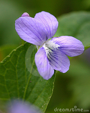 Free Blue Violet Royalty Free Stock Photography - 14939007