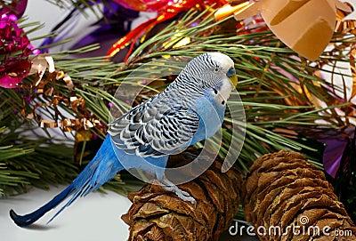 Blue wavy parrot and cedar big shots