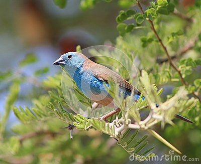 Blue Waxbill - Astonishing Beauty