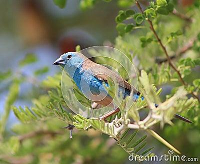Blue Waxbill - Astonishing Beauty