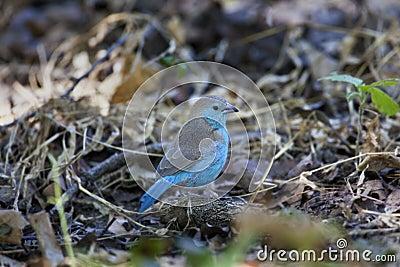Blue Waxbill (Uraeginthus anglolensis) - Botswana