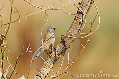 Blue Waxbill (Uraeginthus Angolensis) Royalty Free Stock Photo - Image: 20318465