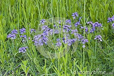 Blue weed flowers