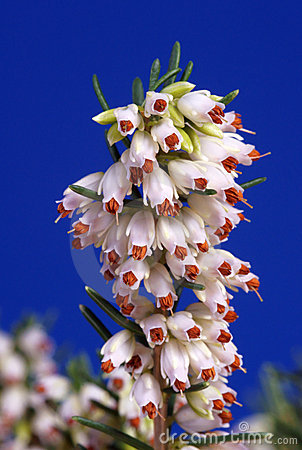Blue and white Erica flower