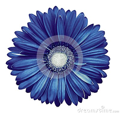 Free Blue-white Gerbera Flower, White Isolated Background With Clipping Path.   Closeup.  No Shadows.  For Design. Royalty Free Stock Photos - 110687108
