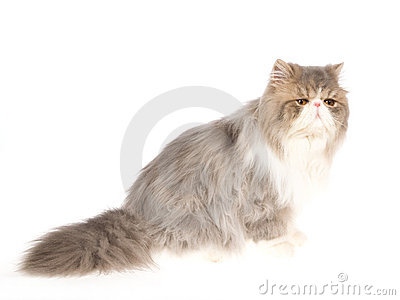 Blue with white Persian on white background