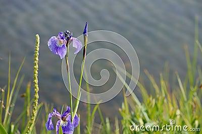 Blue Wild Iris (Iris Setosa)