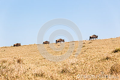 Blue Wildebeest Animals Wildlife Hillside