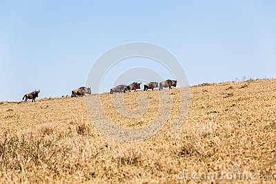 Blue Wildebeest Animals Wildlife Terrain