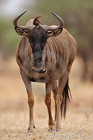 Free Blue Wildebeest (Connochaetes Taurinus) Stock Photo - 21539460