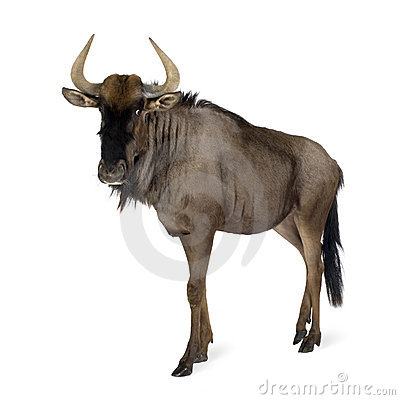 Free Blue Wildebeest - Connochaetes Taurinus Royalty Free Stock Image - 4248076