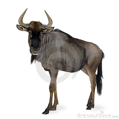Free Blue Wildebeest - Connochaetes Taurinus Stock Images - 4248104