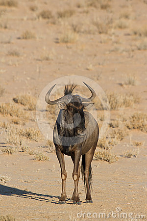 Blue Wildebeest couple in the Kalahari