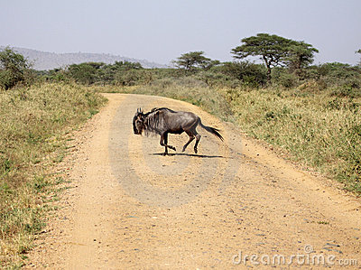 Blue Wildebeest Crossing The Road