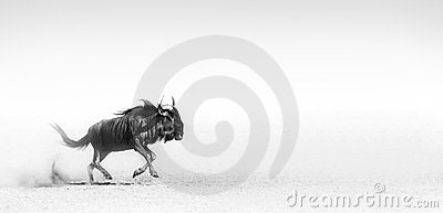 Blue wildebeest in desert
