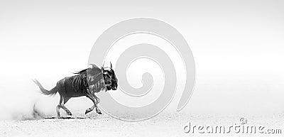 Blue wildebeest in desert