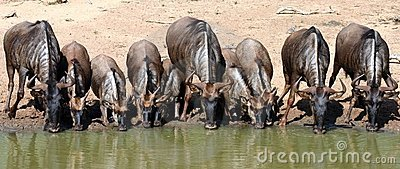 Blue Wildebeest drinking,