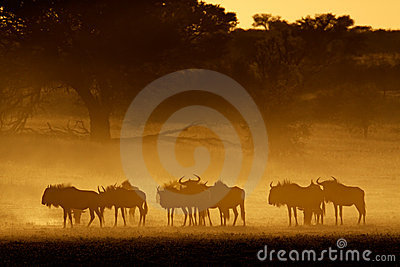 Blue wildebeest in dust, Kalahari