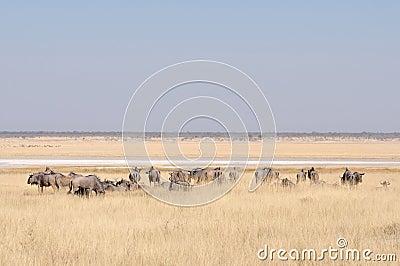 Wildebeest Near Mara R...