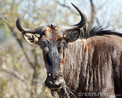 Blue wildebeest with horns