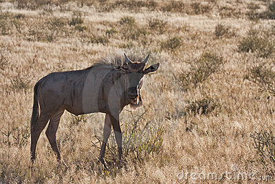 Blue Wildebeest in Kalahari