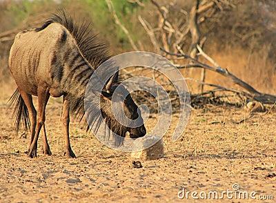 Blue Wildebeest - Mane flaring wild