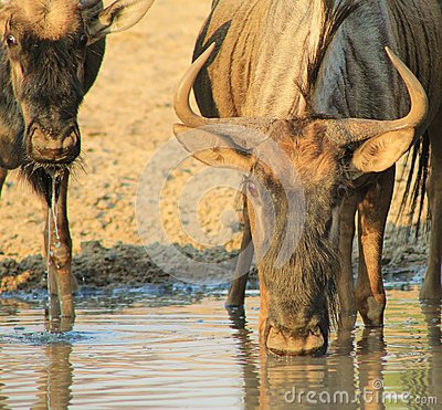 Blue Wildebeest - Mother and Calf